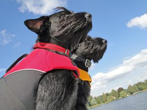 physiovet_schnauzer-im-wind